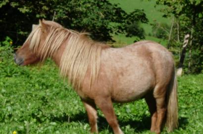 shetland pony verkauf ponys kaufen alpacas ziegen online verkauf. Black Bedroom Furniture Sets. Home Design Ideas